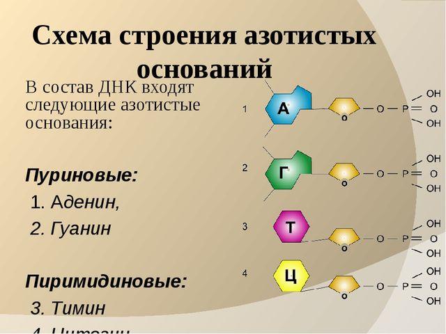 Схема строения азотистых оснований В состав ДНК входят следующие азотистые ос...