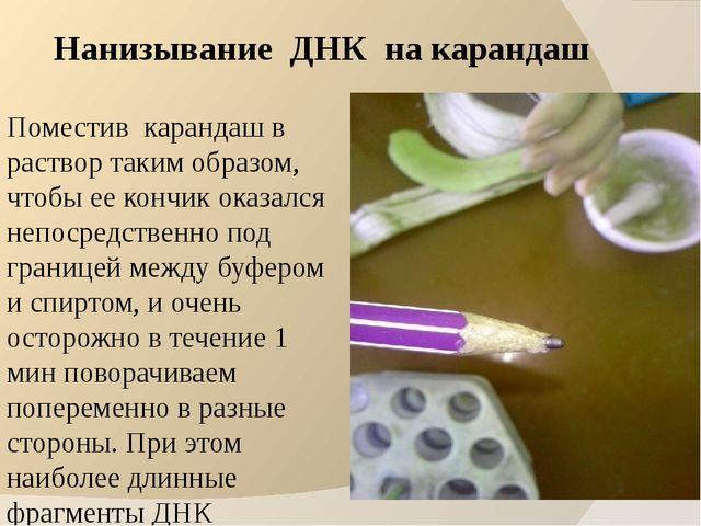 Нанизывание ДНК на карандаш Поместив карандаш в раствор таким образом, чтобы...