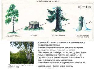 С северной стороны комлевая часть дерева темнее и больше зарастает мхами Снач