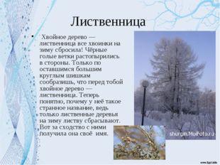 Лиственница Хвойное дерево — лиственница все хвоинки на зиму сбросила! Чёрные