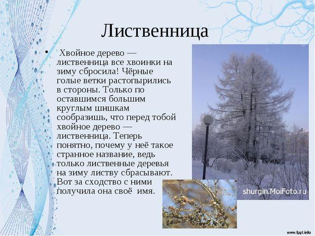 Лиственница Хвойное дерево — лиственница все хвоинки на зиму сбросила! Чёрные...