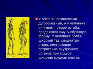 У обезьян позвоночник дугообразный, а у человека он имеет четыре изгиба, прид
