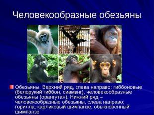 Человекообразные обезьяны Обезьяны. Верхний ряд, слева направо: гиббоновые (б