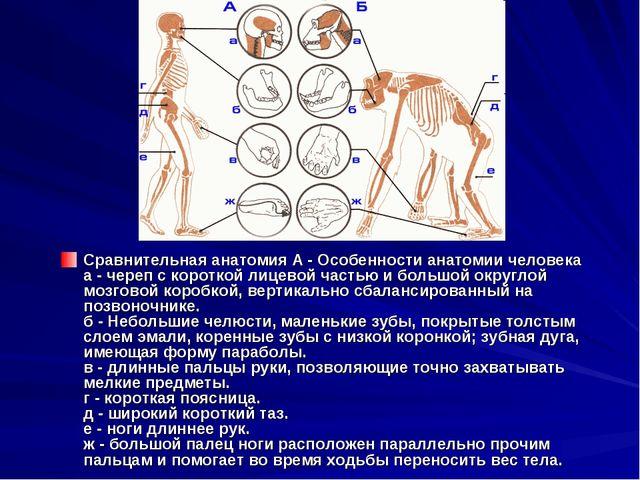 Сравнительная анатомия А - Особенности анатомии человека а - череп с короткой...
