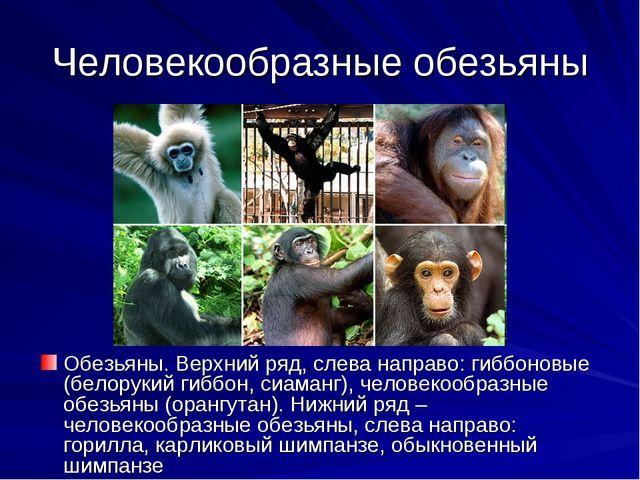 Человекообразные обезьяны Обезьяны. Верхний ряд, слева направо: гиббоновые (б...