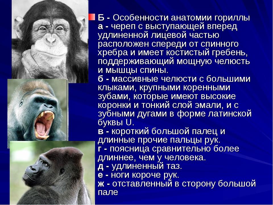 Б - Особенности анатомии гориллы а - череп с выступающей вперед удлиненной ли...