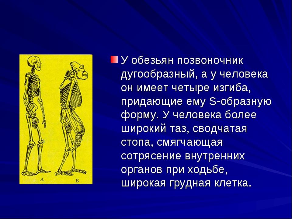 У обезьян позвоночник дугообразный, а у человека он имеет четыре изгиба, прид...