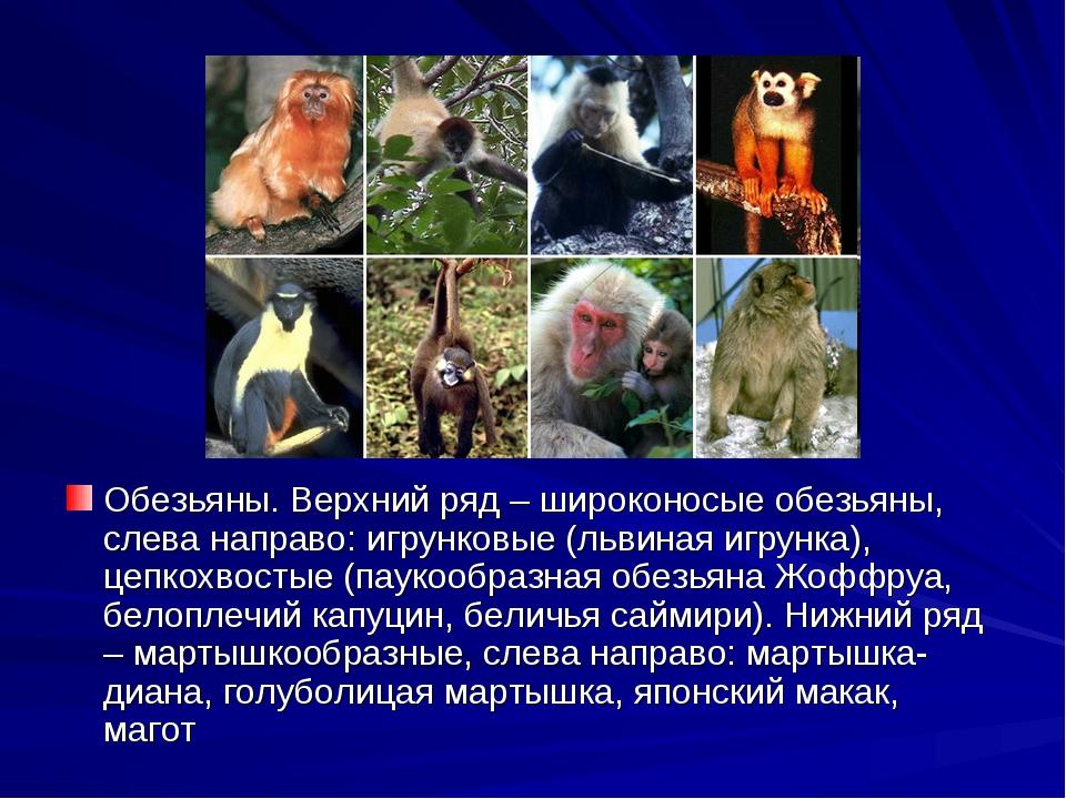 Обезьяны. Верхний ряд – широконосые обезьяны, слева направо: игрунковые (льви...