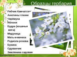 Образцы гербария Рябчик Камчатский Анютины глазки Черёмуха Яблоня Будра (коша