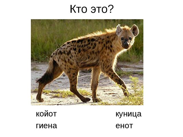Кто это? койот куница гиена енот