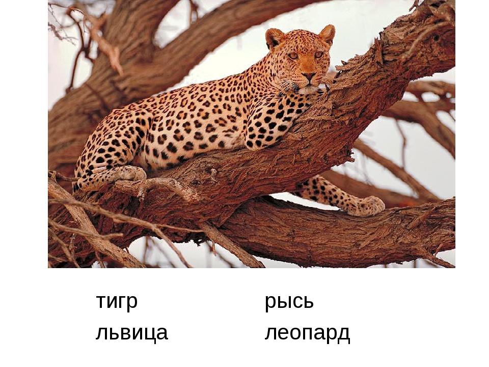 тигр рысь львица леопард