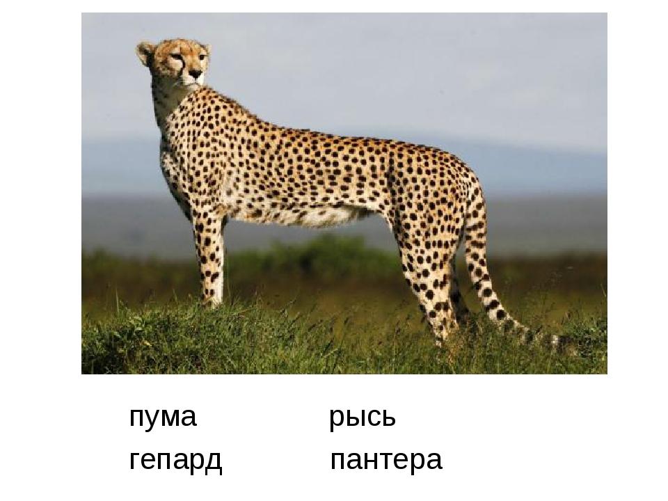 пума рысь гепард пантера