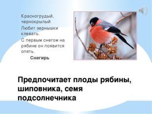 Предпочитает плоды рябины, шиповника, семя подсолнечника Красногрудый, чернок