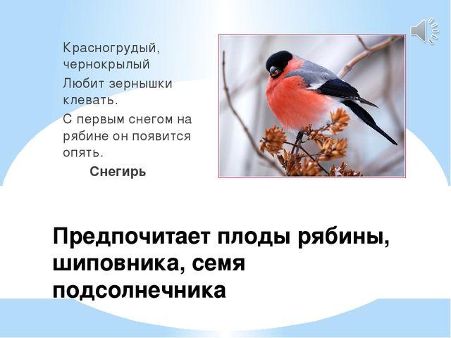 Предпочитает плоды рябины, шиповника, семя подсолнечника Красногрудый, чернок...