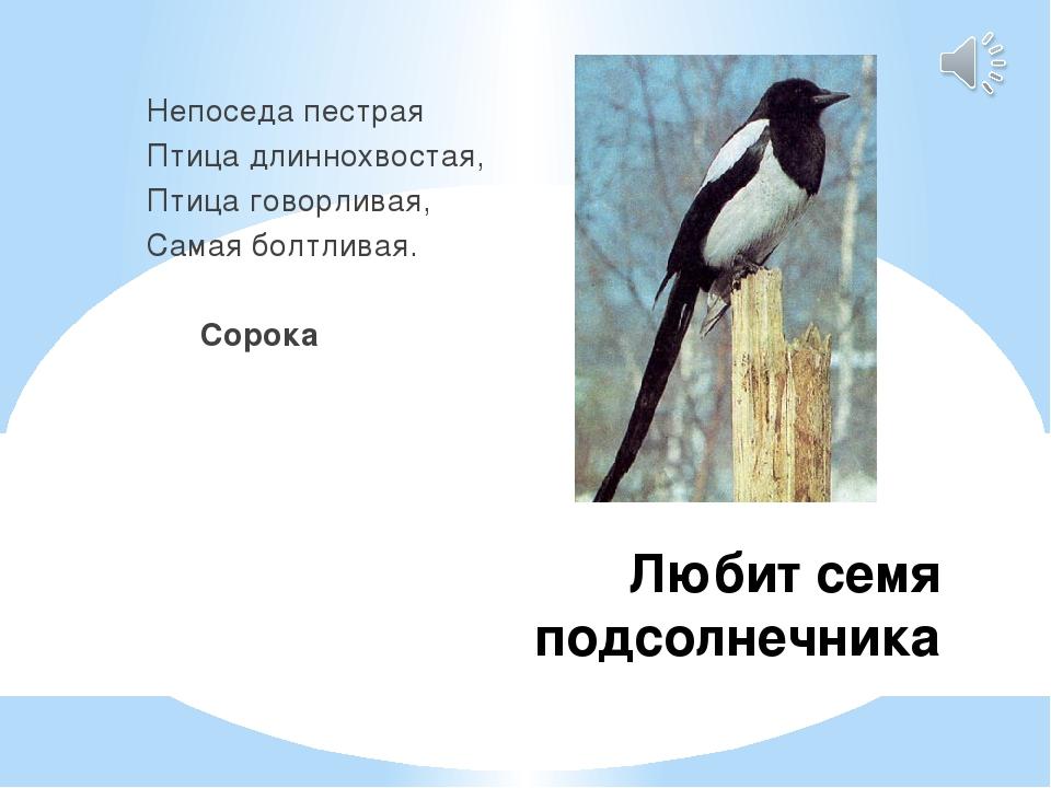 Любит семя подсолнечника Непоседа пестрая Птица длиннохвостая, Птица говорлив...