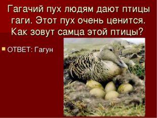 Гагачий пух людям дают птицы гаги. Этот пух очень ценится. Как зовут самца эт