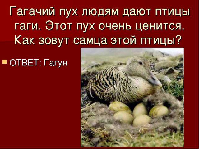 Гагачий пух людям дают птицы гаги. Этот пух очень ценится. Как зовут самца эт...