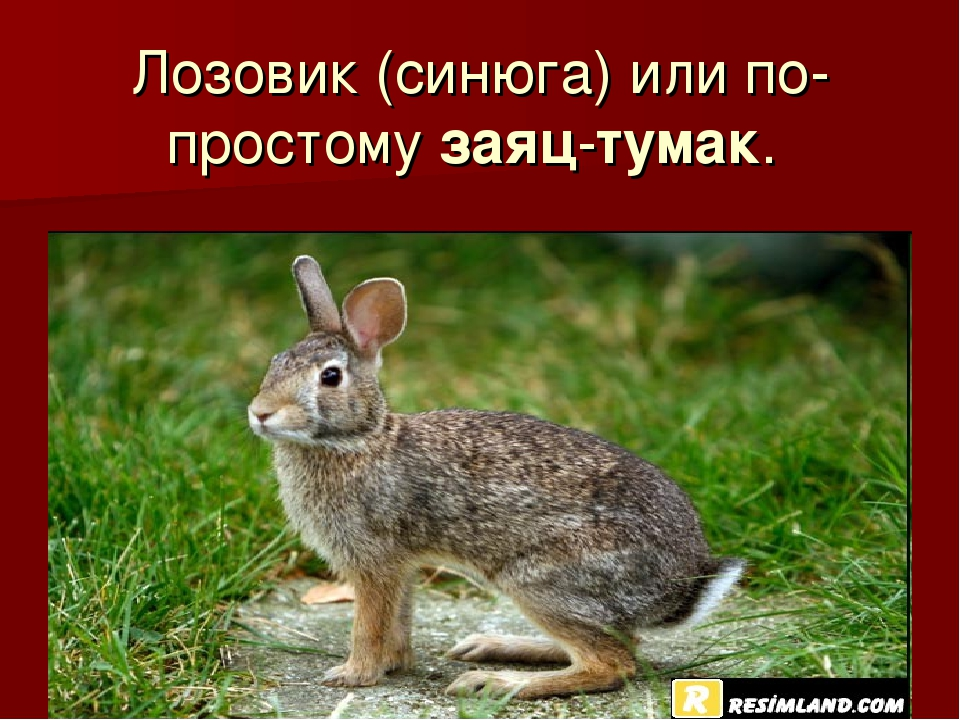 Лозовик (синюга) или по-простому заяц-тумак.