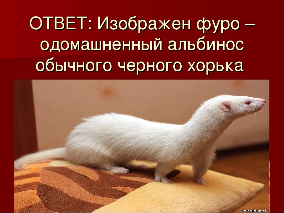 ОТВЕТ: Изображен фуро – одомашненный альбинос обычного черного хорька