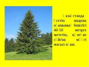 Қазақстанда өсетін шырша ағашының биіктігі 40-50 метрге жететін, көлеңке сүй