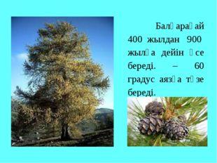 Балқарағай 400 жылдан 900 жылға дейін өсе береді. – 60 градус аязға төзе бер