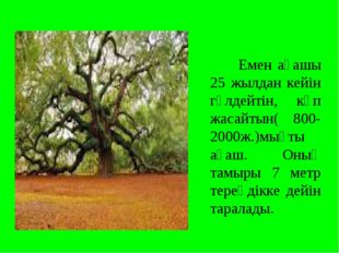 Емен ағашы 25 жылдан кейін гүлдейтін, көп жасайтын( 800-2000ж.)мықты ағаш. О