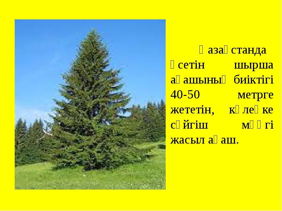 Қазақстанда өсетін шырша ағашының биіктігі 40-50 метрге жететін, көлеңке сүй...