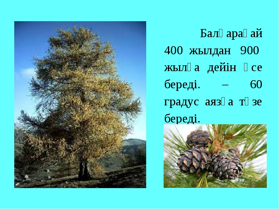 Балқарағай 400 жылдан 900 жылға дейін өсе береді. – 60 градус аязға төзе бер...