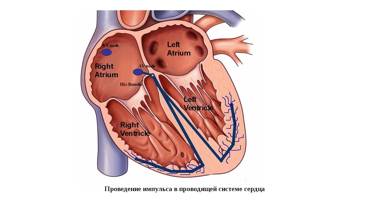 Проведение импульса в проводящей системе сердца