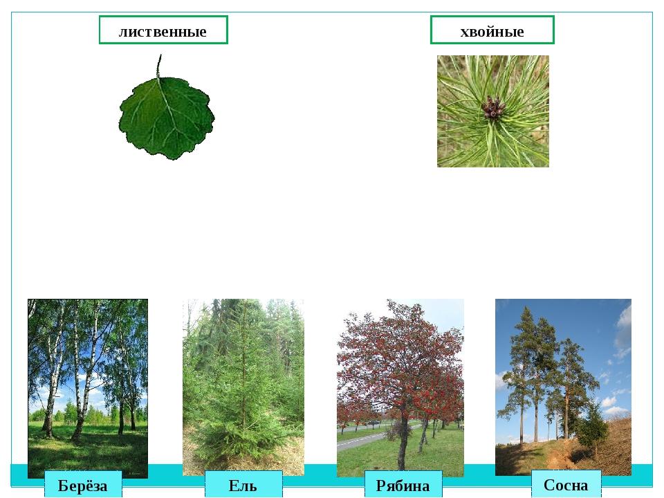лиственные хвойные