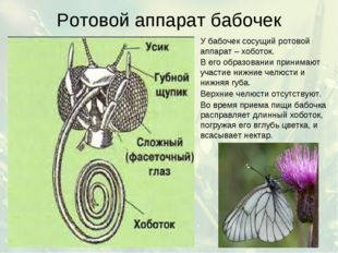 Ротовой аппарат бабочек У бабочек сосущий ротовой аппарат – хоботок. В его об