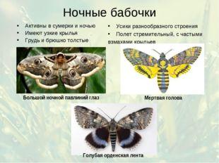 Ночные бабочки Активны в сумерки и ночью Имеют узкие крылья Грудь и брюшко то