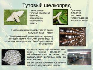 Тутовый шелкопряд - невзрачная толстая беловатая бабочка, потерявшая способно