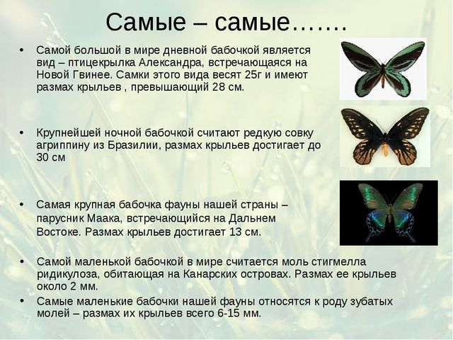 Самые – самые……. Самой маленькой бабочкой в мире считается моль стигмелла рид...