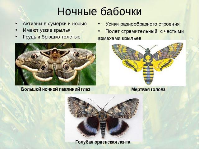 Ночные бабочки Активны в сумерки и ночью Имеют узкие крылья Грудь и брюшко то...