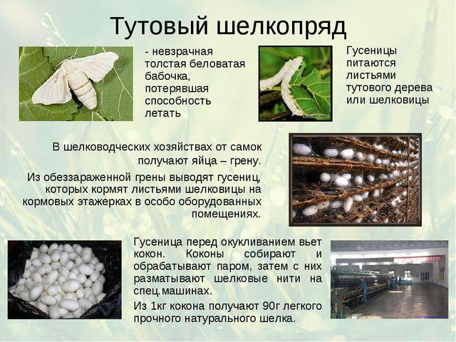 Тутовый шелкопряд - невзрачная толстая беловатая бабочка, потерявшая способно...