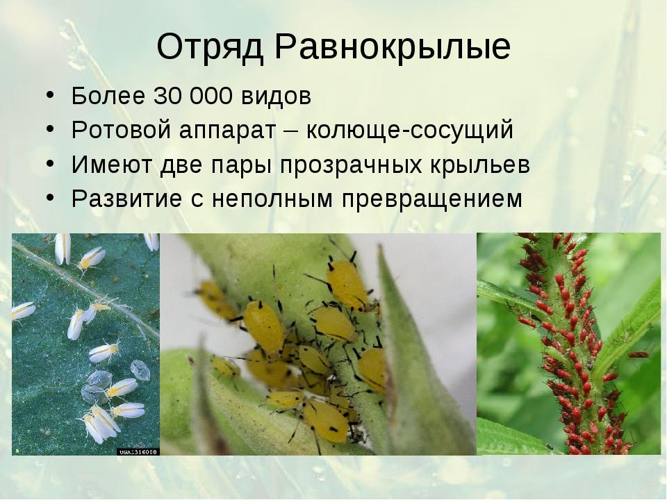 Отряд Равнокрылые Более 30 000 видов Ротовой аппарат – колюще-сосущий Имеют д...