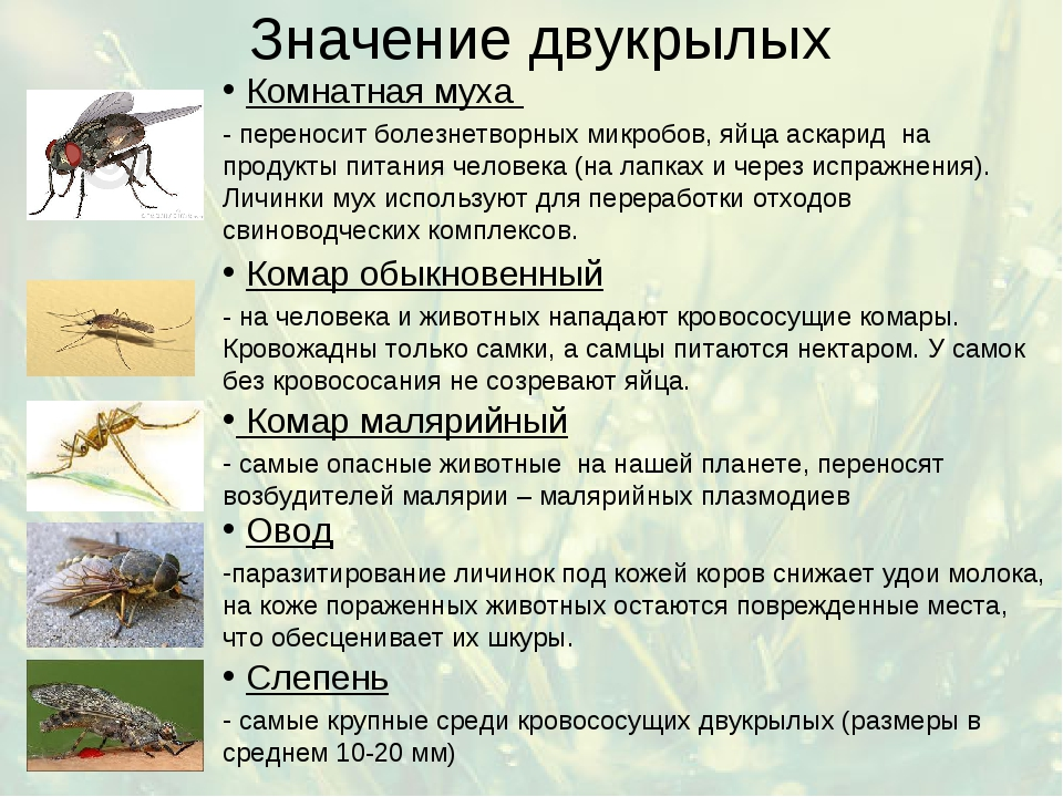 Значение двукрылых Комнатная муха - переносит болезнетворных микробов, яйца а...