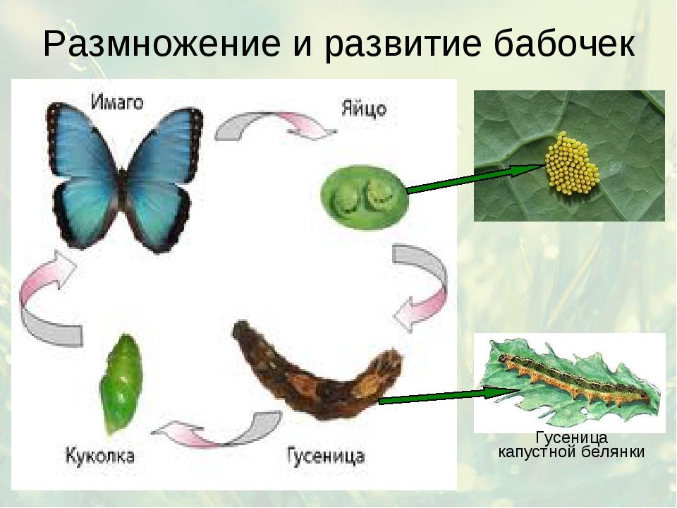 Размножение и развитие бабочек