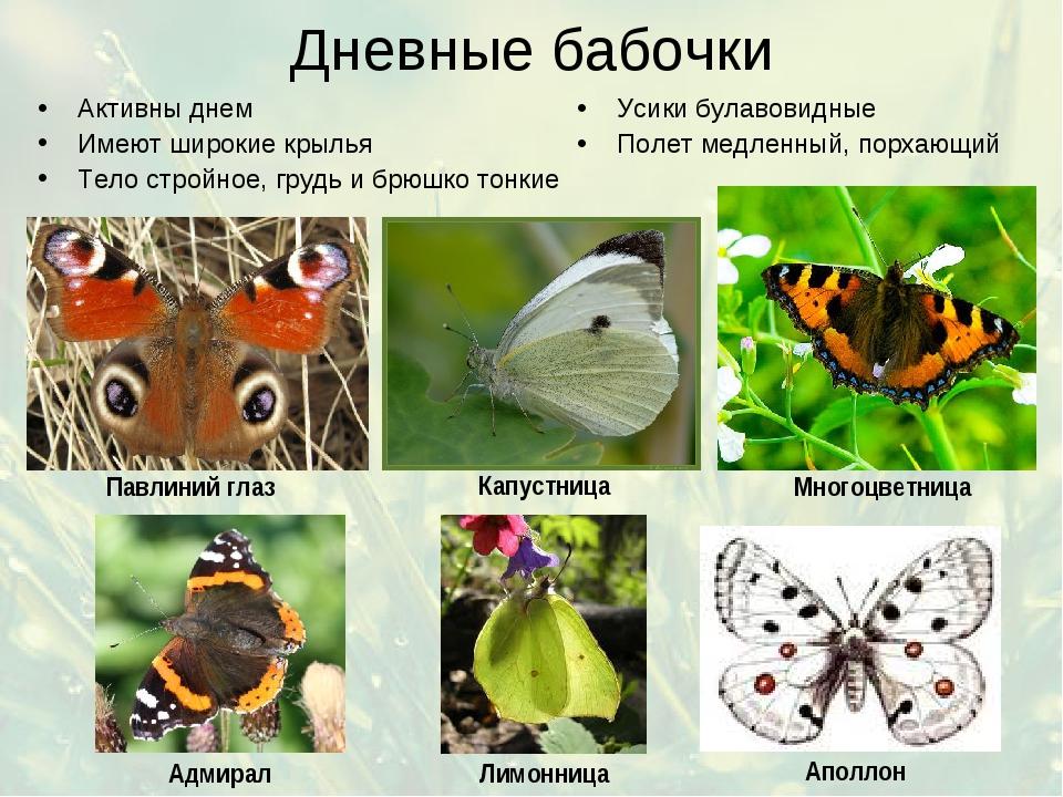 Дневные бабочки Активны днем Имеют широкие крылья Тело стройное, грудь и брюш...