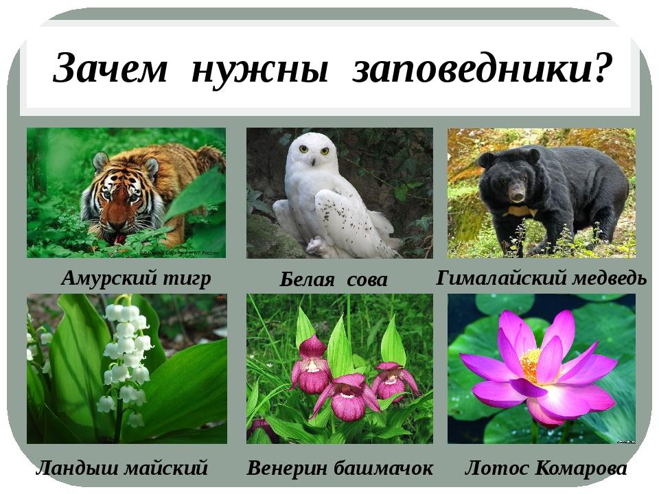 Зачем нужны заповедники? Амурский тигр Белая сова Гималайский медведь Ландыш...