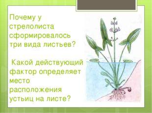 Почему у стрелолиста сформировалось три вида листьев? Какой действующий факто