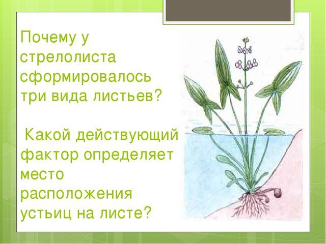Почему у стрелолиста сформировалось три вида листьев? Какой действующий факто...