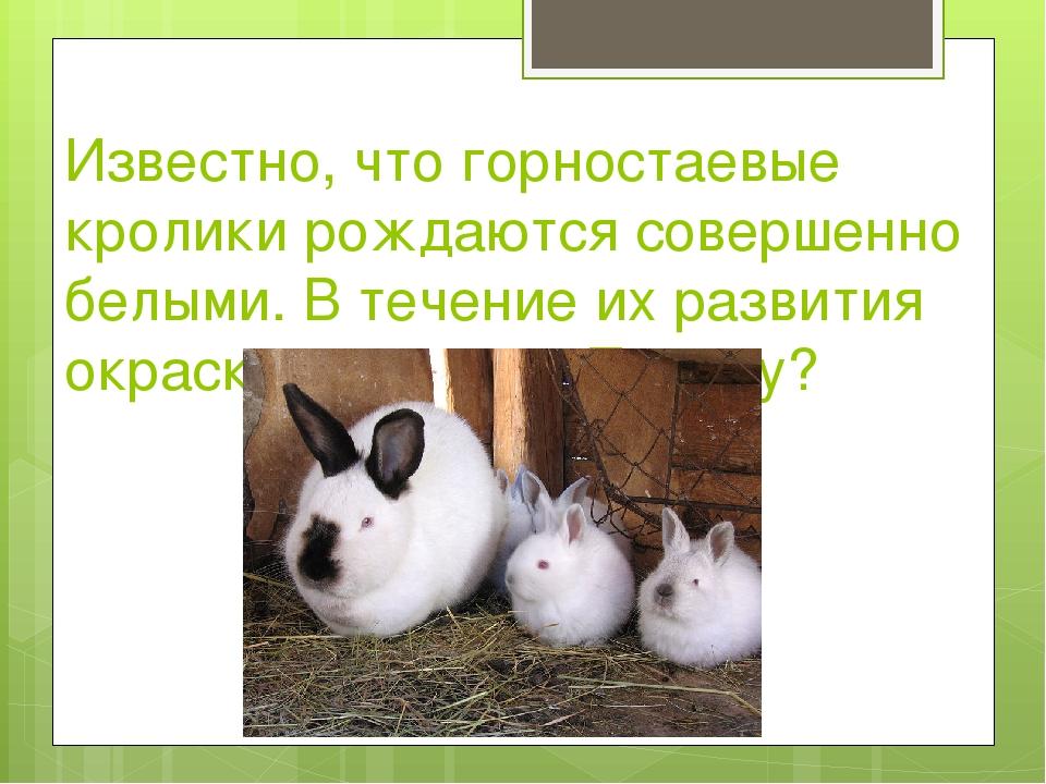 Известно, что горностаевые кролики рождаются совершенно белыми. В течение их...