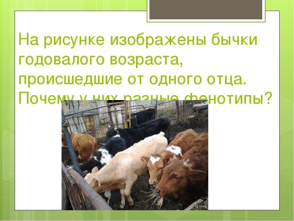 На рисунке изображены бычки годовалого возраста, происшедшие от одного отца....