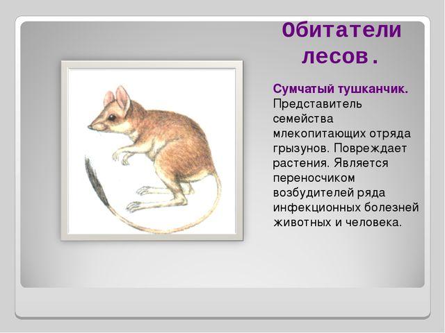 Обитатели лесов. Сумчатый тушканчик. Представитель семейства млекопитающих от...