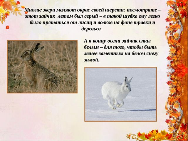 Многие звери меняют окрас своей шерсти: посмотрите – этот зайчик летом был се...