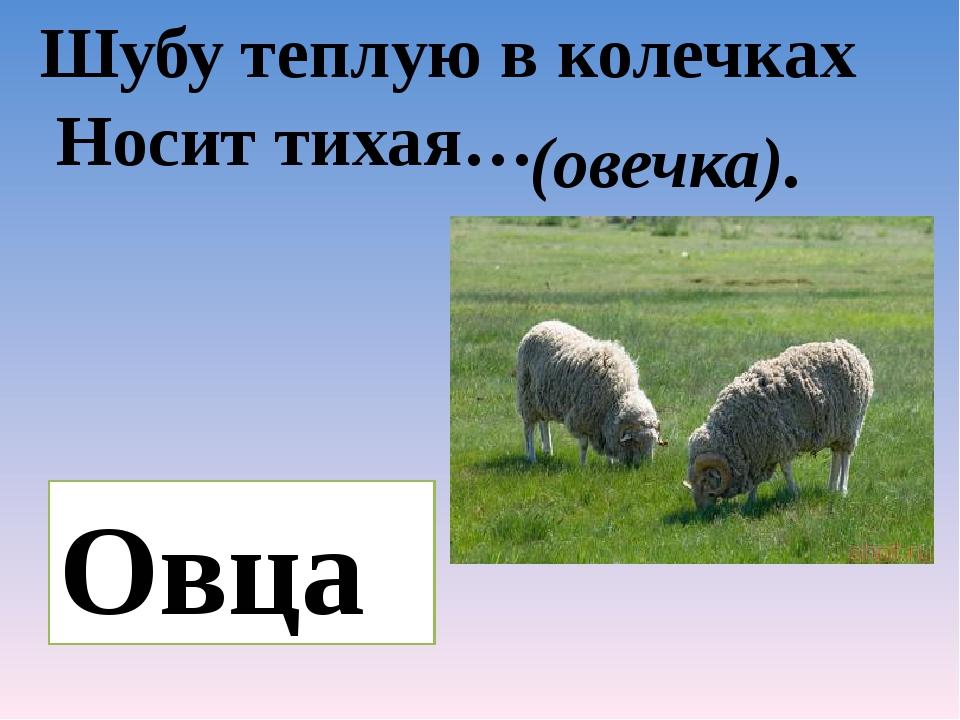 Шубу теплую в колечках Носит тихая… (овечка). Овца