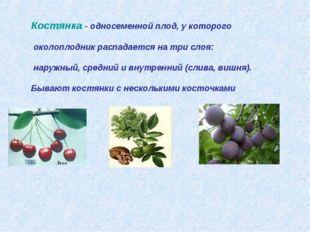 Костянка - односеменной плод, у которого околоплодник распадается на три слоя