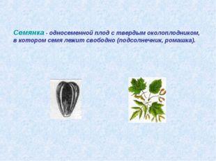 Семянка - односеменной плод с твердым околоплодником, в котором семя лежит св